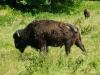 Bison in der Rüdigsdorfer Schweiz